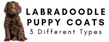 Labradoodle Puppy Coat Types