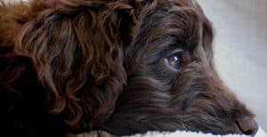 What Causes Eye Boogers And Discharge In Labradoodle Puppies