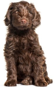 brown labradoodle puppy