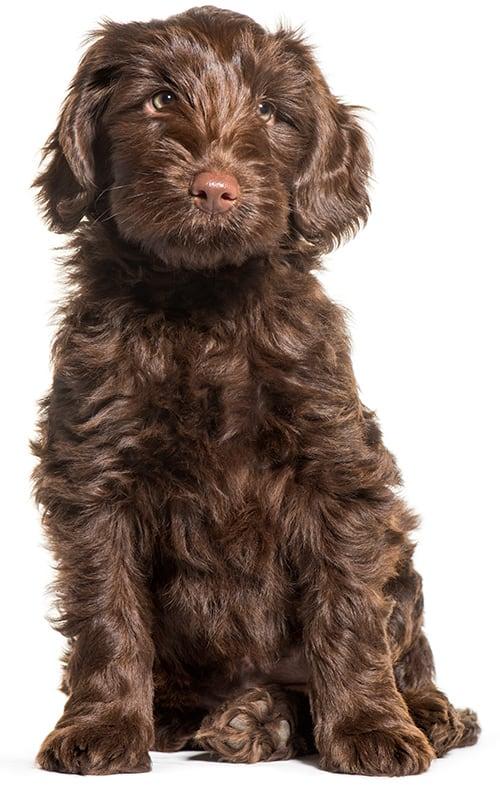brown labradoodle puppy