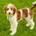 The Aussiedoodle: A Complete Breed Overview