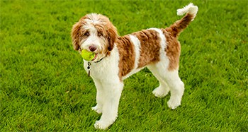 Aussiedoodle Breed Overview