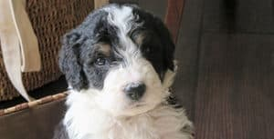 Do Bernedoodles Have Health Issues?