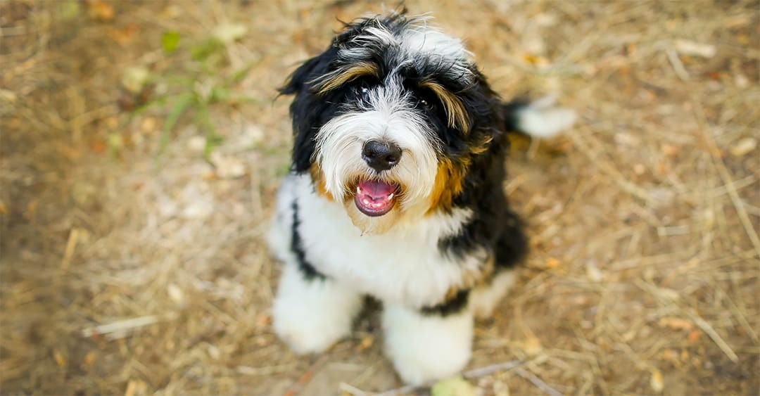 Do Bernedoodles Need Grooming Haircut And Bathing Tips