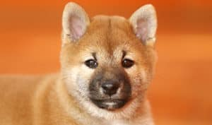 How Much Do Shiba Inu Puppies Cost