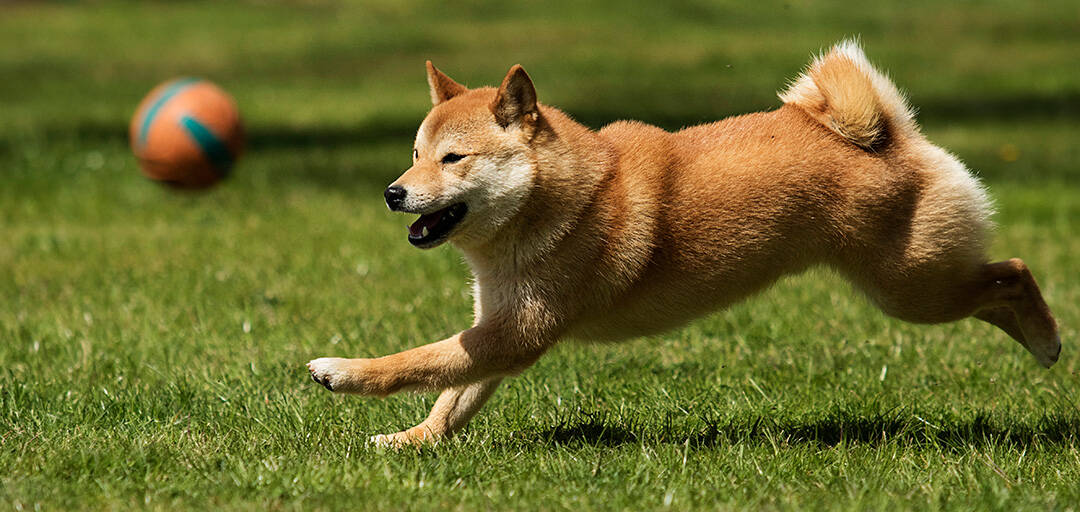 How Much Exercise Does a Shiba Inu Puppy Need?
