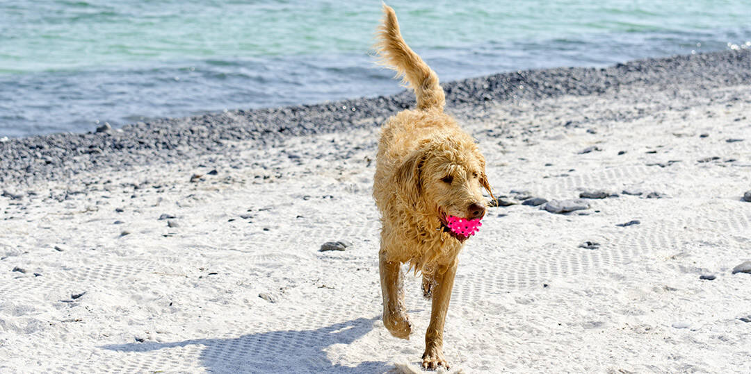 Labradoodle With Ball On Beach