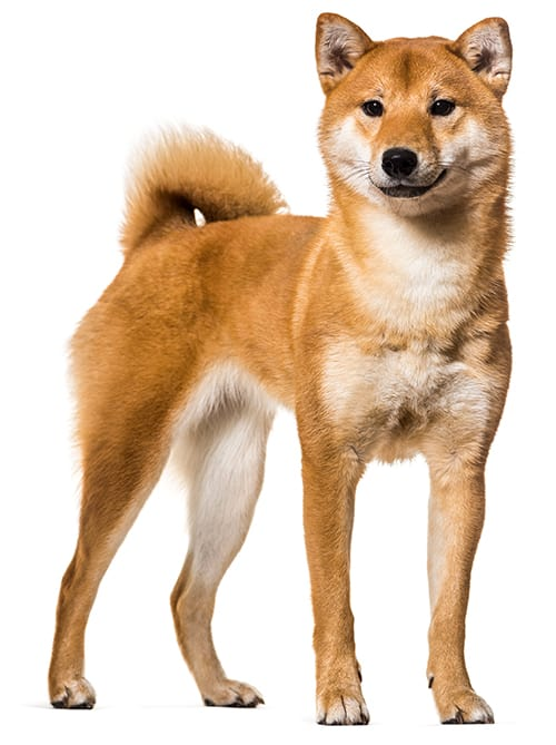 Shiba Inu Breed Overview