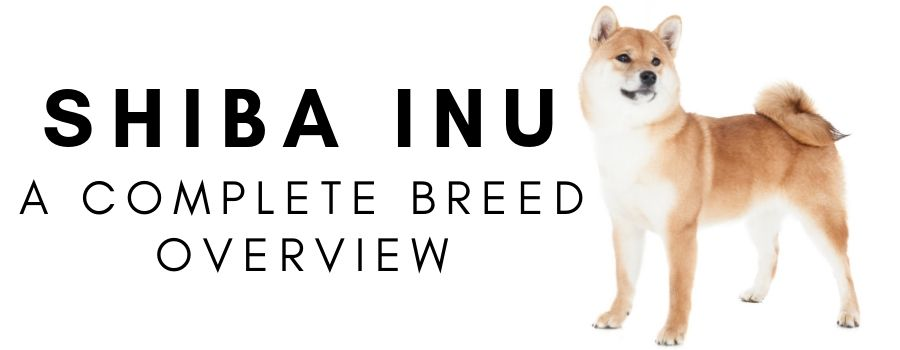 Shiba Inu Complete Breed Overview