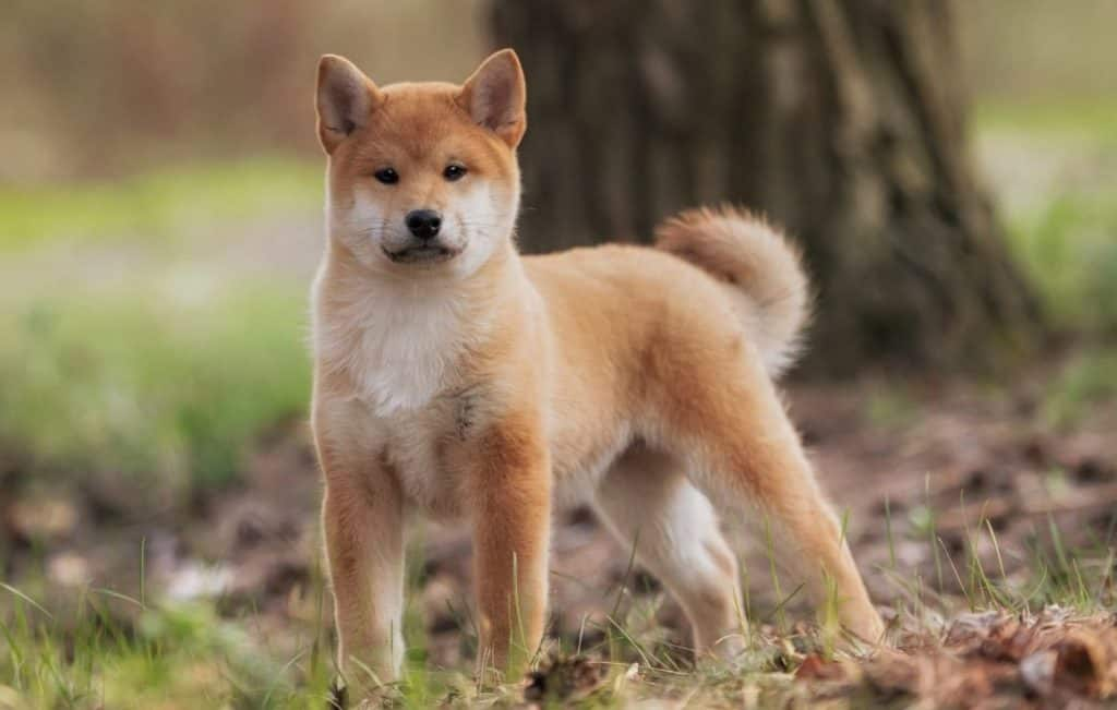 Shiba Inu standing in forest