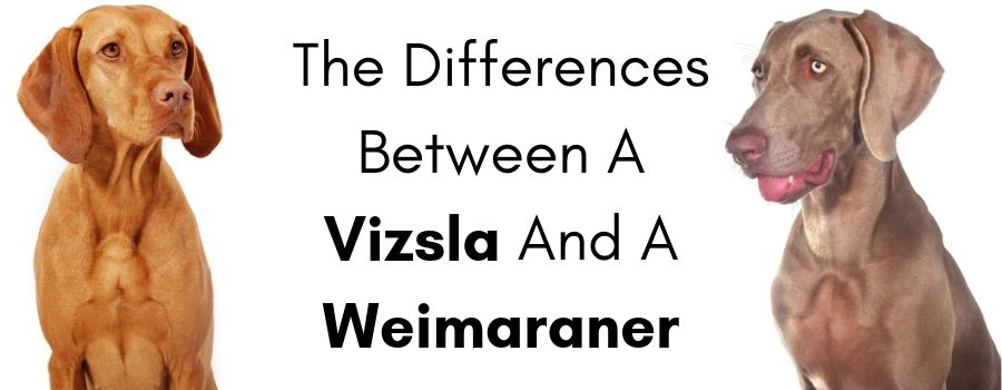 What Are The Differences Between A Vizsla And A Weimaraner