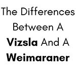 What Are The Differences Between A Vizsla And A Weimaraner?