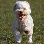 Are Cavapoos Good Family Dogs? Good With Kids and Pets?