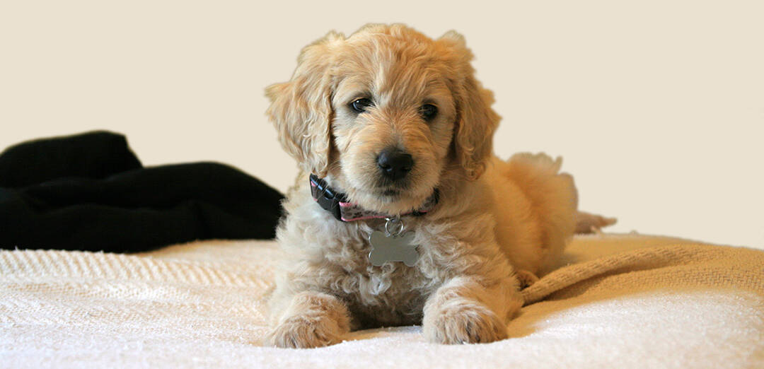 Are Goldendoodles Good Apartment Dogs