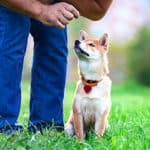 Are Shiba Inus Easy To Train? Potty Training And Commands