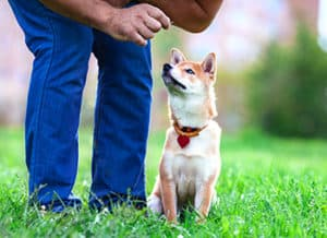 Are Shiba Inus Easy To Train