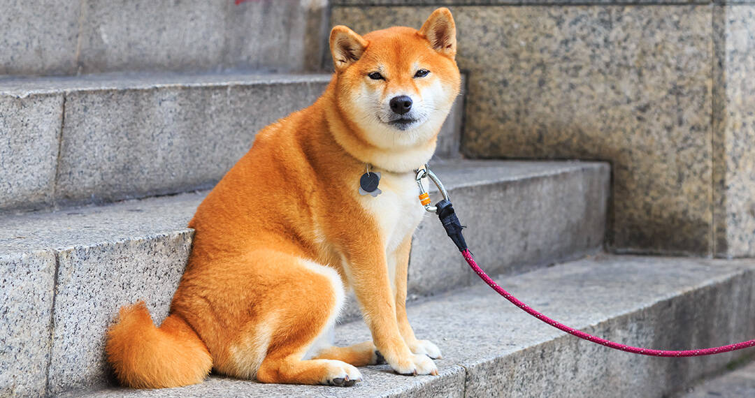 Are Shiba Inus Good For First Time Owners