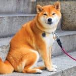 Are Shiba Inus Good For First-Time Owners? Plus New Dog Tips!