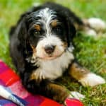 The Bernedoodle: A Complete Breed Overview