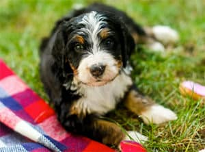 Bernedoodle Breed Overview
