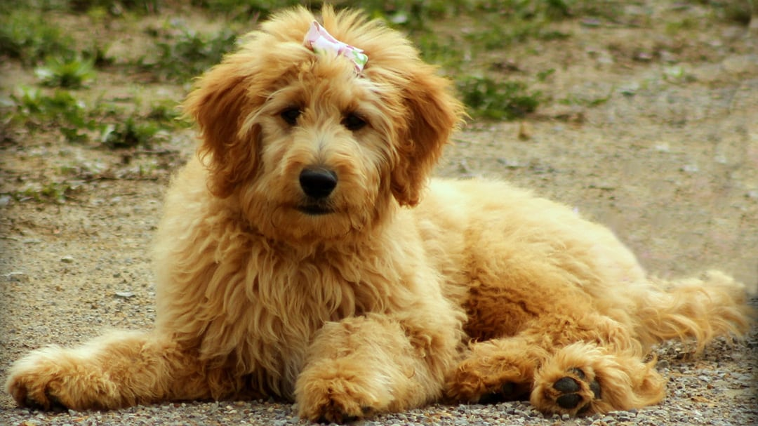 Can Goldendoodle Puppies Be Left Alone?