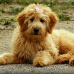 Can Goldendoodle Puppies Be Left Alone? How Soon? How Long?