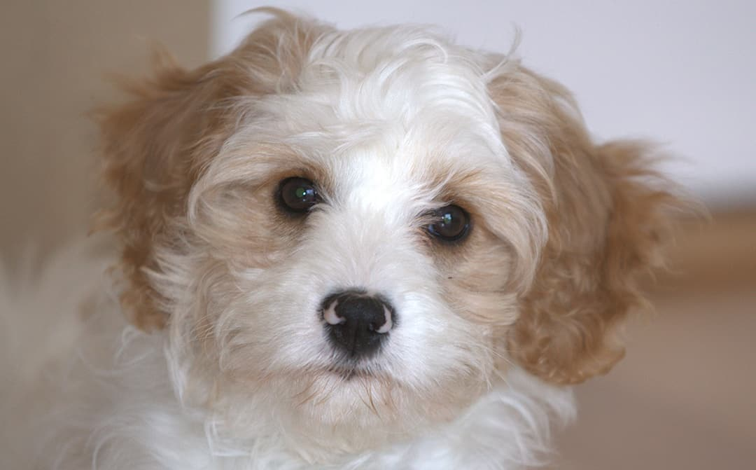 Cavapoo Breed Overview