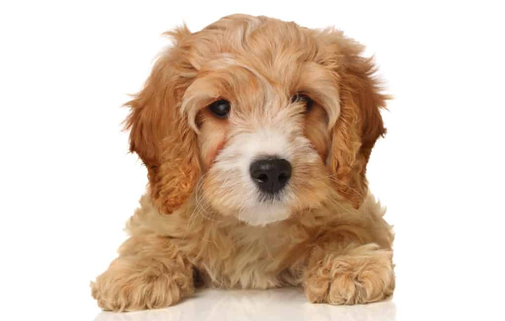 Cavapoo Breed