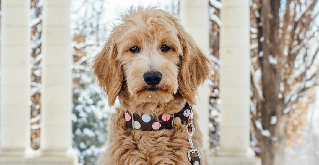 Do Goldendoodles Have Health Issues?