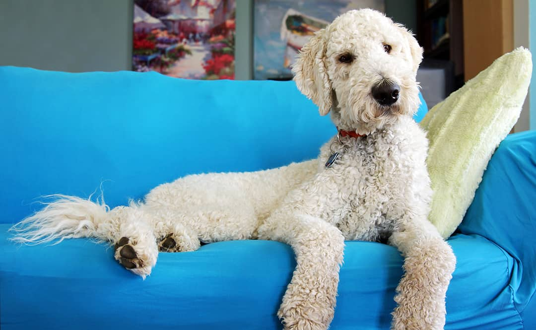 Do Goldendoodles Like To Cuddle?