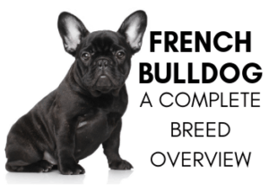 A complete overview of the French Bulldog breed and characteristics