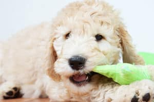 Goldendoodle Happiness Games Activities Mental Stimulation