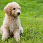Your Goldendoodle Puppy Jumping Up? 90% Effective Prevention!