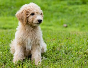 Stop Your Goldendoodle From Jumping