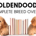 The Goldendoodle: A Complete Breed Overview