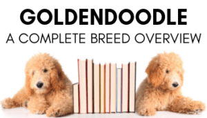 Goldendoodle Breed Overview