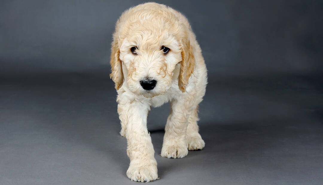 How Big Do Goldendoodles Get Are There Different Sizes