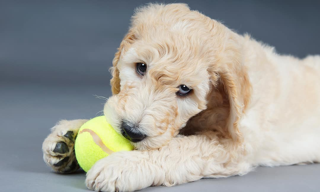 How Do I Get My Goldendoodle Puppy To Stop Biting?