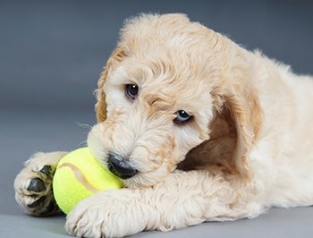 How Do I Get My Goldendoodle Puppy To Stop Biting Fast Fix