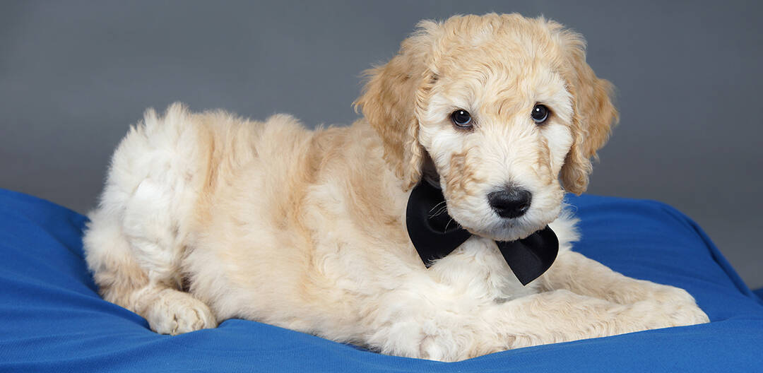 How Much Do Goldendoodle Puppies Cost