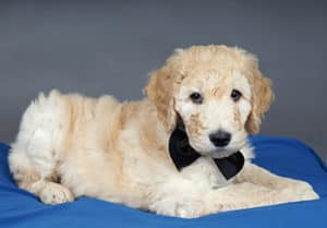 How Much Do Goldendoodle Puppies Cost?