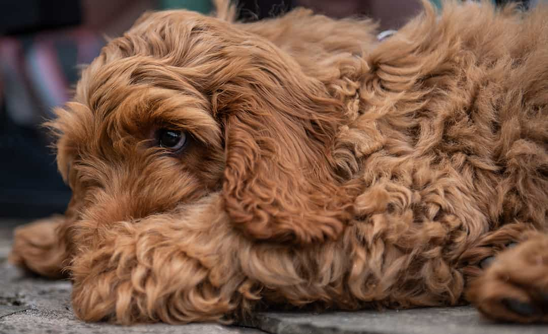 How Much Does A Cockapoo Puppy Cost?