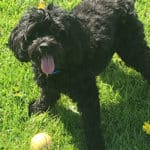 Cavapoo Exercise Requirements - Puppy and Adult Cavapoo Needs
