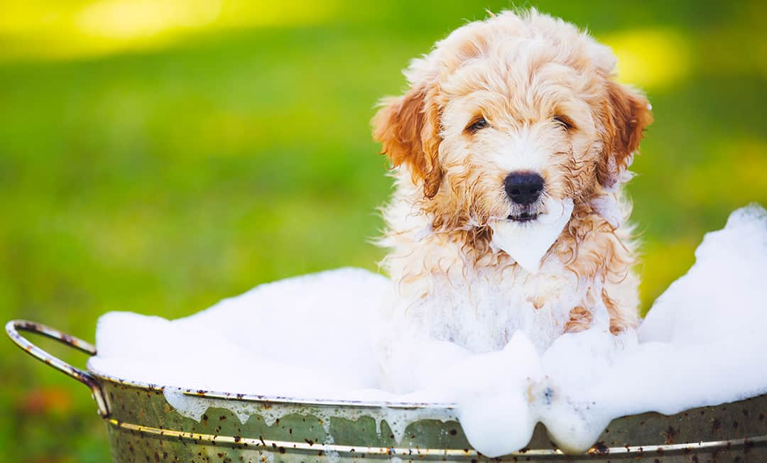 How Often Should I Bathe My Goldendoodle?