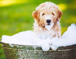 How Often Should I Bathe My Goldendoodle?