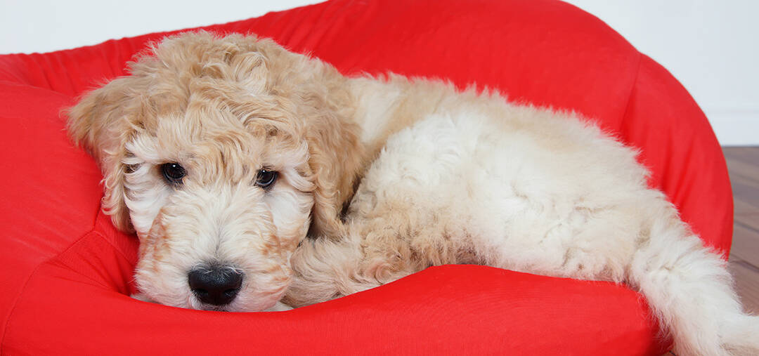 Is A Goldendoodle A Good Family Dog
