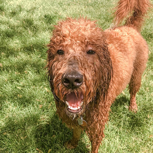 Oliver all wet after running in the sprinkler. He wears a waterproof collar for this reason during the summer.
