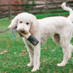 What Are The Pros And Cons Of A Goldendoodle? Good or Bad Dog?
