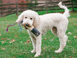 What Are The Pros And Cons Of A Goldendoodle?