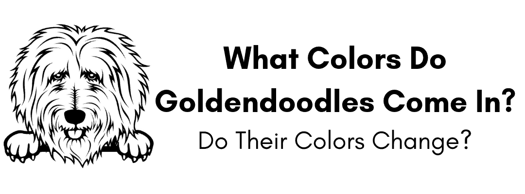 What Colors Do Goldendoodles Come In? Do Their Colors Change?